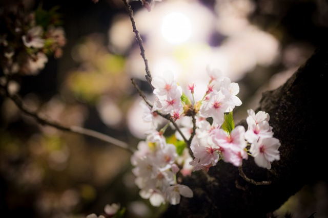 SIGMA 50mm f1.4 DG HSM ARTの作例。夜桜