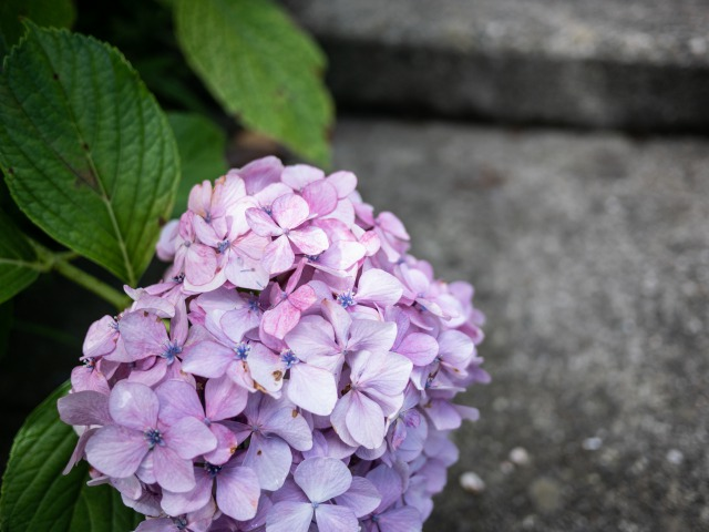 LUMIX GH5で紫陽花を撮ってみた
